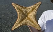 What Are the Functions of the Ampulla on a Starfish?