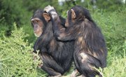 Chimpanzee Mating Habits