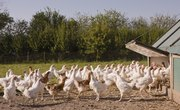 How to Start an Organic Chicken Farm