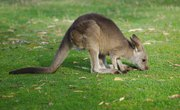 The Digestive System of a Kangaroo