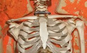 What Percentage of Bones in the Body Comprise the Axial Skeleton?