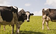 Physical Characteristics of Cattle