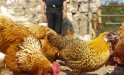 How to Become a Commercial Chicken Farmer