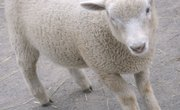Grooming Sheep