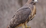Facts About Buzzards
