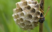 How Do Wasps Make Their Nests?