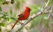 How to Tell if a Cardinal Bird Is Male or Female