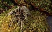 Florida Tarantulas and Other Spiders