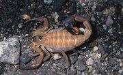 Scorpions in Alabama