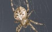 Types of Dangerous Spiders