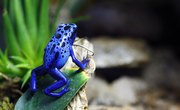 Life Cycle of a Blue Poison Dart Frog
