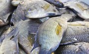 Difference Between Male & Female Tilapia