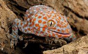 Types of Geckos in Hawaii
