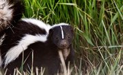How to Tell a Female From a Male Skunk
