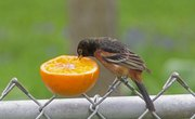 How to Feed Oranges to Wild Birds