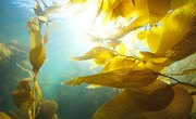Does Kelp Have Many Different Cells?