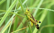 Difference Between Male & Female Grasshoppers