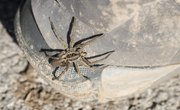 What Are the Predators of the Wolf Spider?