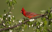 How to Care for an Injured Red Cardinal