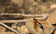 Types of Large Wasps
