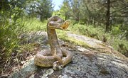 How to Identify Baby Rattlesnakes