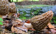 The Best Places to Find Morel Mushrooms Growing in West Virginia