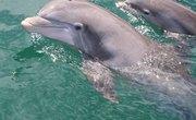 How Do Dolphins Nurse?