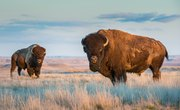 Bison Reintroduction in Banff—and the Potential for Wolf/Buffalo Showdowns