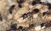 How to Tell the Difference Between Fire Ants & Regular Ants