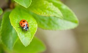 What Do Ladybugs Need to Live?