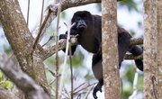 Adaptations of Monkeys for the Jungle