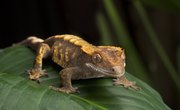 What Is the Difference Between Lizards & Geckos?