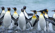How Do Penguins Get Their Food?