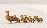 Facts on Ducklings