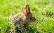 How to Nurse or Care for a Wild Baby Rabbit