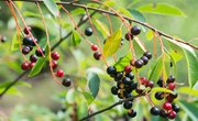 Interesting Facts About the Hackberry Tree