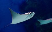What Are the Adaptations of a Stingray?