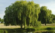 Types of Willow Bushes and Trees