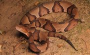 How to Identify the Copperhead