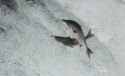 What Do Salmon Eat?