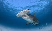 The Life Cycle of a Hammerhead Shark