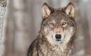 About a Wolf's Sense of Smell