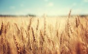 What Are Amber Waves of Grain?