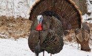 How Does a Turkey Reproduce?