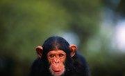 The Difference Between Chimpanzee Skulls & Human Skulls
