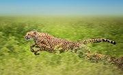 Characteristics of the Cheetah