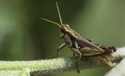 How Long Do Crickets Live?
