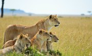 Difference Between Male & Female Lions