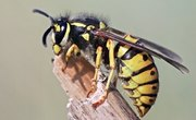 How To Identify Wasps & Bees
