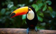 What Adaptations Enable Toco Toucans to Live?